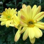 1スプレーマム黄色